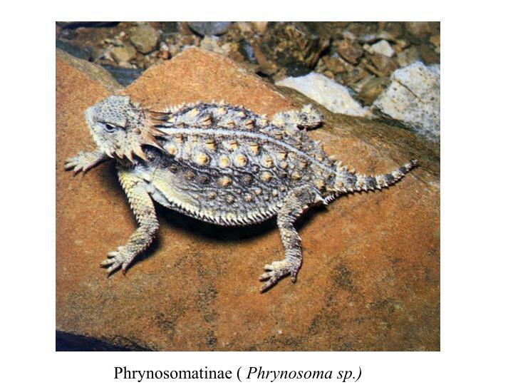 Phrynosomatinae (