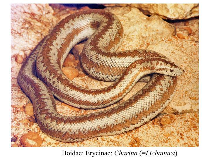 Boidae: Erycinae: