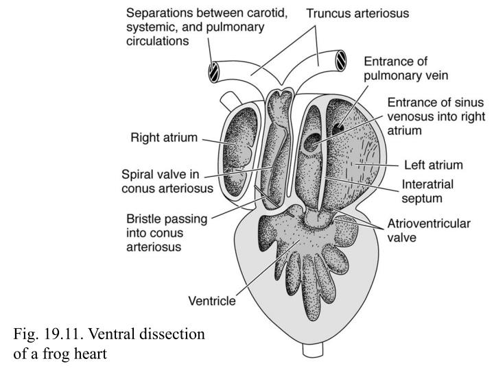 Fig. 19.11. Ventral dissection