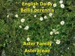 english daisy1
