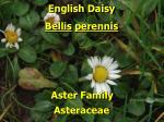 english daisy2