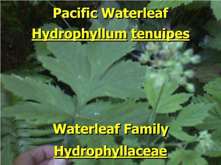 Pacific Waterleaf