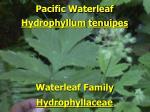 pacific waterleaf1