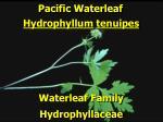 pacific waterleaf2