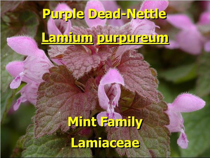 Purple Dead-Nettle