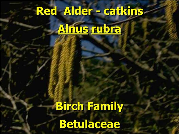 Red  Alder - catkins