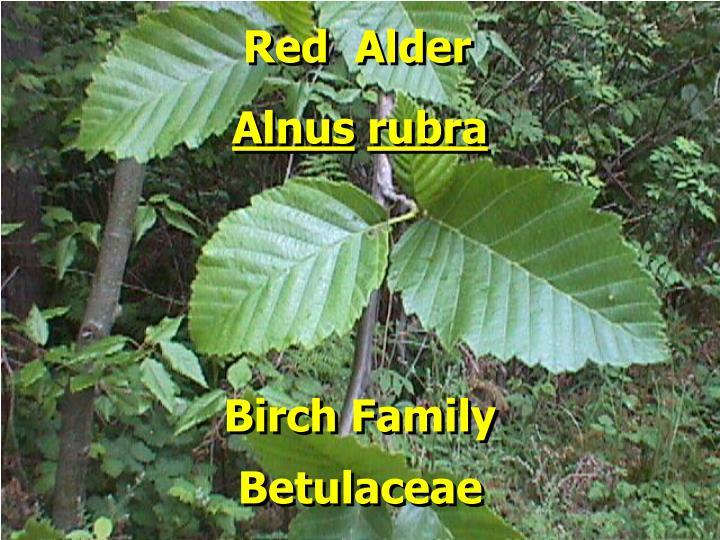 Red  Alder