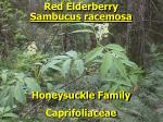 red elderberry