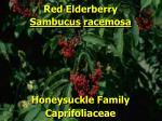 red elderberry1