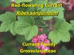 red flowering currant1