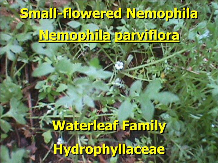 Small-flowered Nemophila