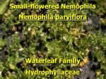 small flowered nemophila1