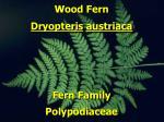 wood fern2