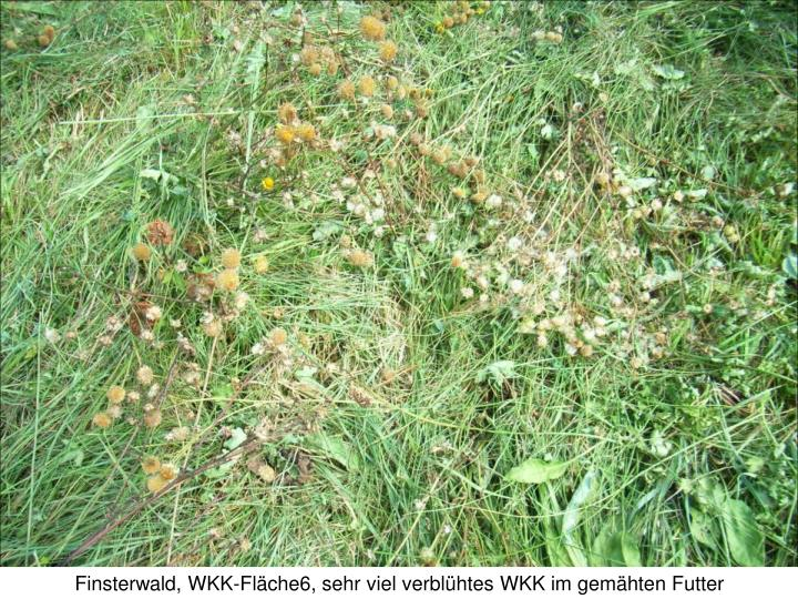 Finsterwald, WKK-Fläche6, sehr viel verblühtes WKK im gemähten Futter