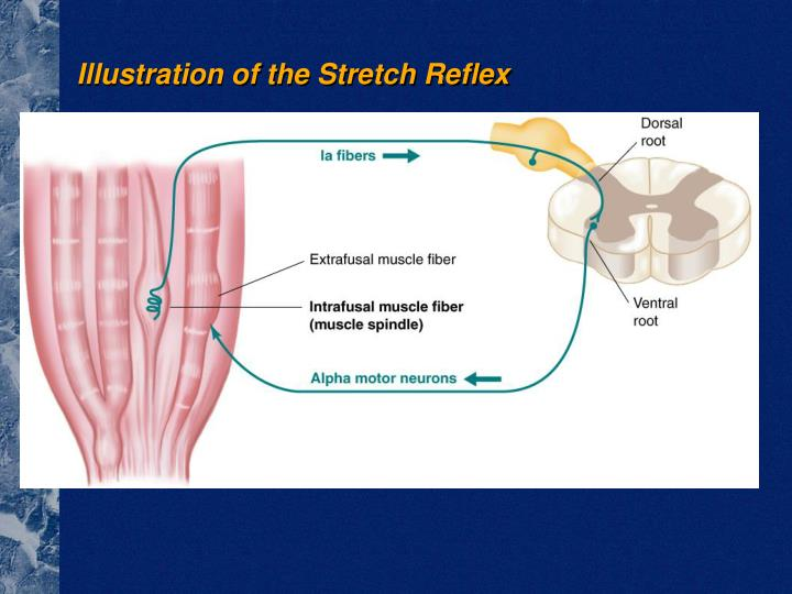 Illustration of the Stretch Reflex