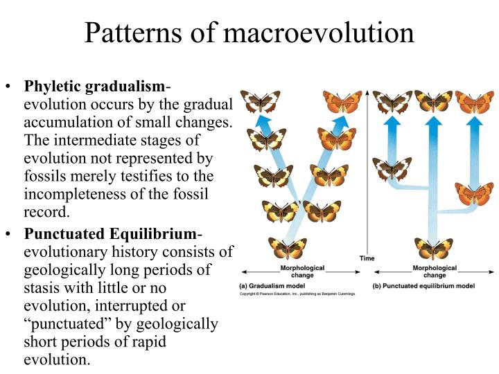 explain the concepts of phyletic gradualism and punctuated equilibrium Biology-online is a completely free and open biology dictionary with over 60,000 biology terms it uses the wiki concept, so that anyone can make a contribution.