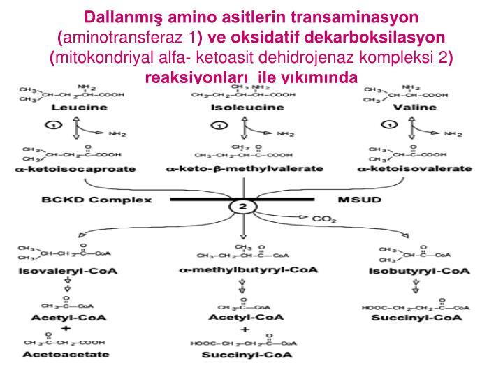Dallanm amino asitlerin transaminasyon