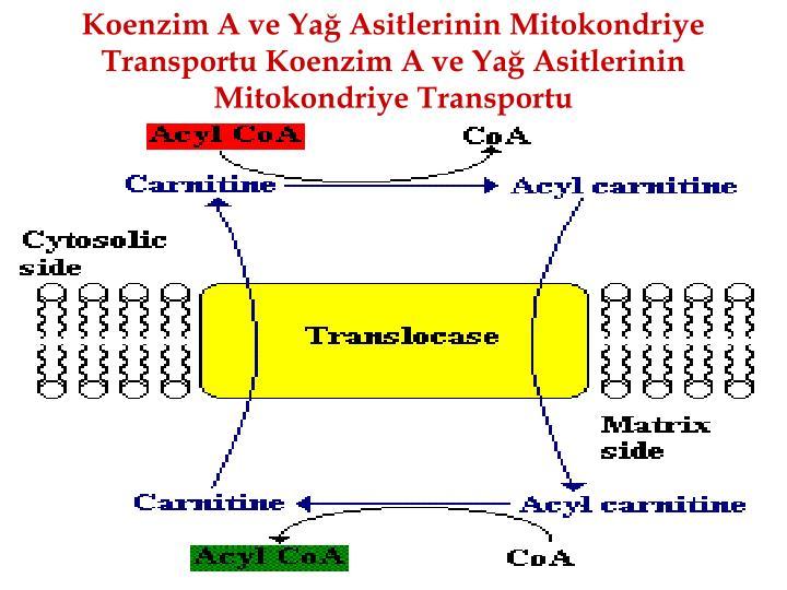 Koenzim A ve Ya Asitlerinin Mitokondriye Transportu Koenzim A ve Ya Asitlerinin Mitokondriye Transportu