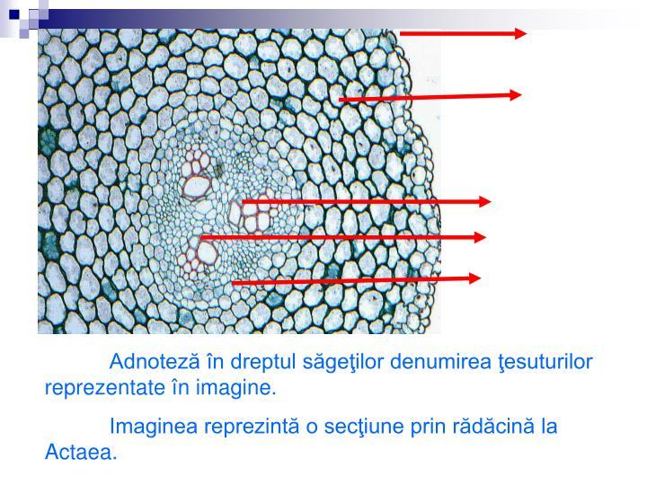 Adnoteză în dreptul săgeţilor denumirea ţesuturilor reprezentate în imagine.