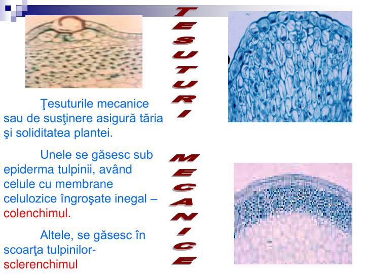 Ţesuturile mecanice sau de susţinere asigură tăria şi soliditatea plantei.