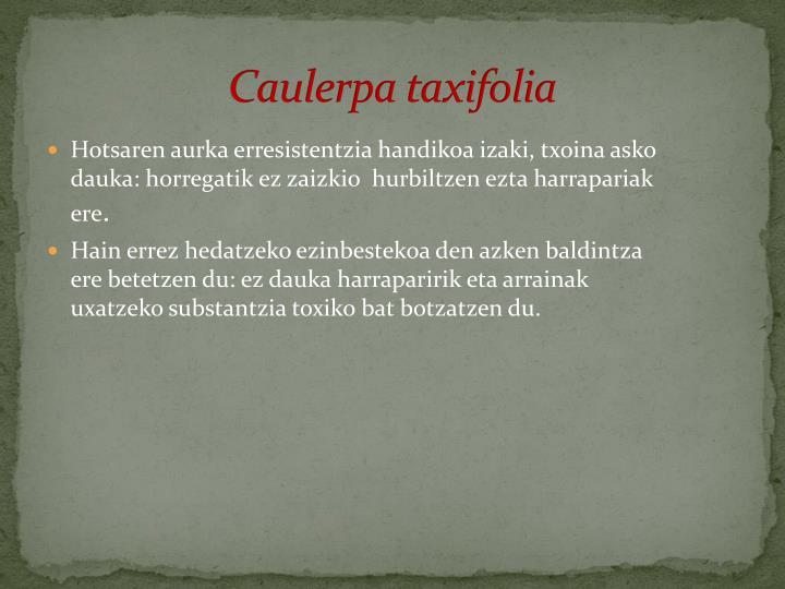 Caulerpa