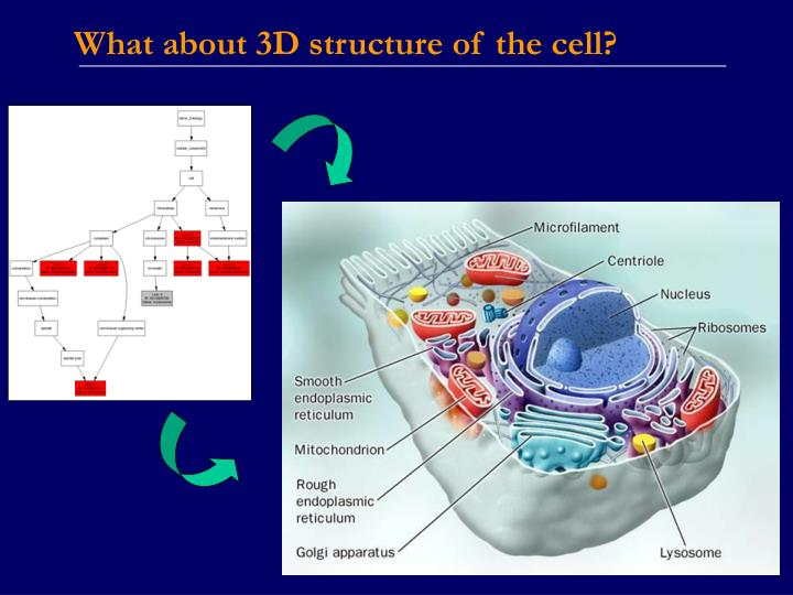 What about 3D structure of the cell?