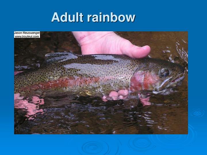 Adult rainbow