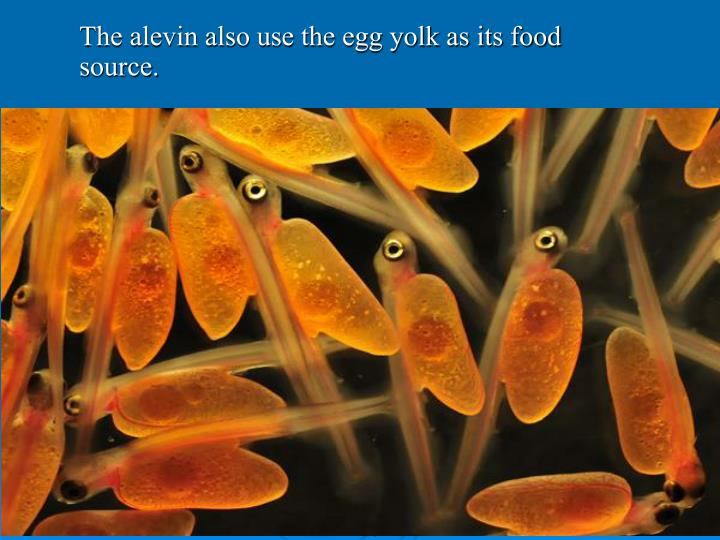 The alevin also use the egg yolk as its food source.