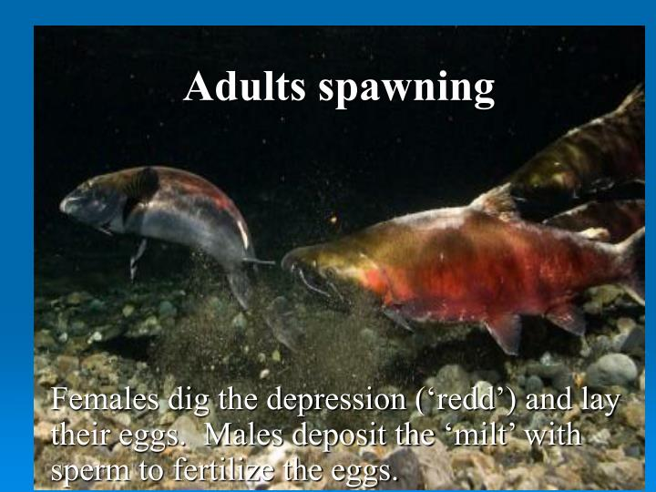 Adults spawning