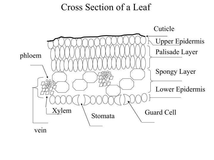 Cross Section of a Leaf