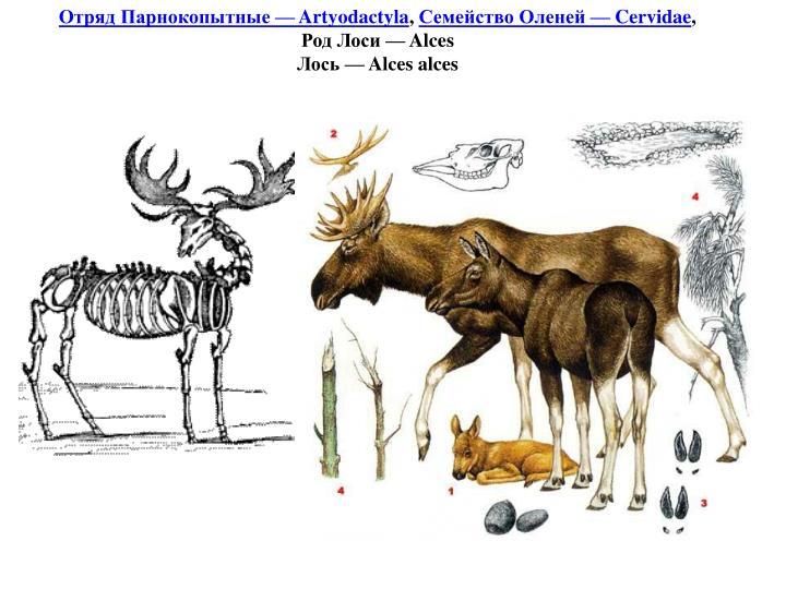 Отряд Парнокопытные — Artyodactyla