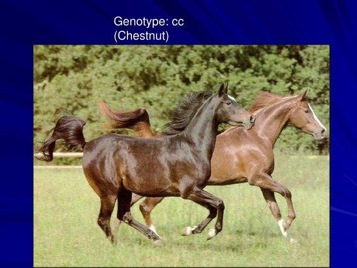 Genotype: cc (Chestnut)