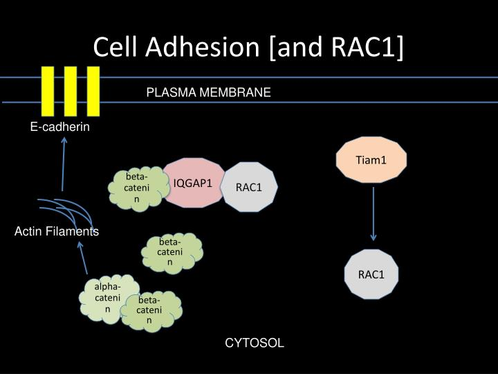 Cell Adhesion [and RAC1]