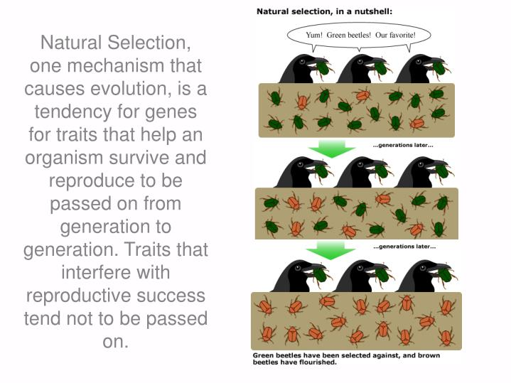 Natural Selection, one mechanism that causes evolution, is a tendency for genes for traits that help an organism survive and reproduce to be passed on from generation to generation. Traits that interfere with reproductive success tend not to be passed on.