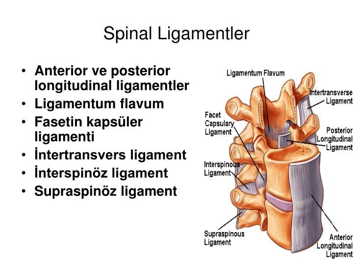 Spinal Ligamentler