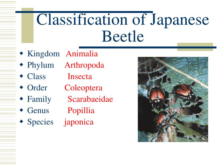 Classification of Japanese Beetle