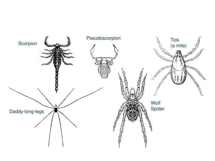 Orders of Arachnids