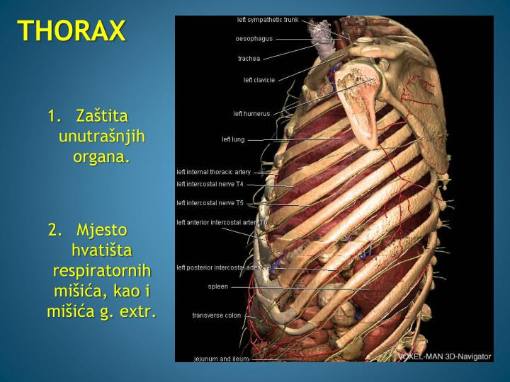 THORAX