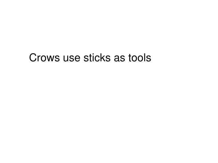 Crows use sticks as tools
