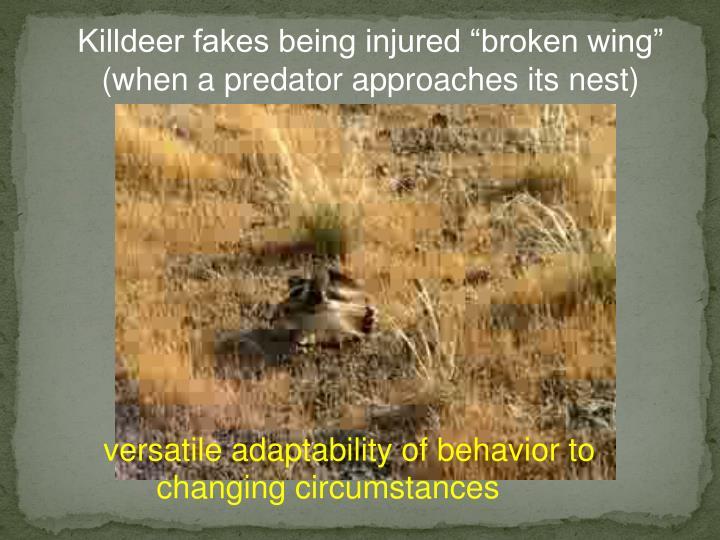 """Killdeer fakes being injured """"broken wing"""""""