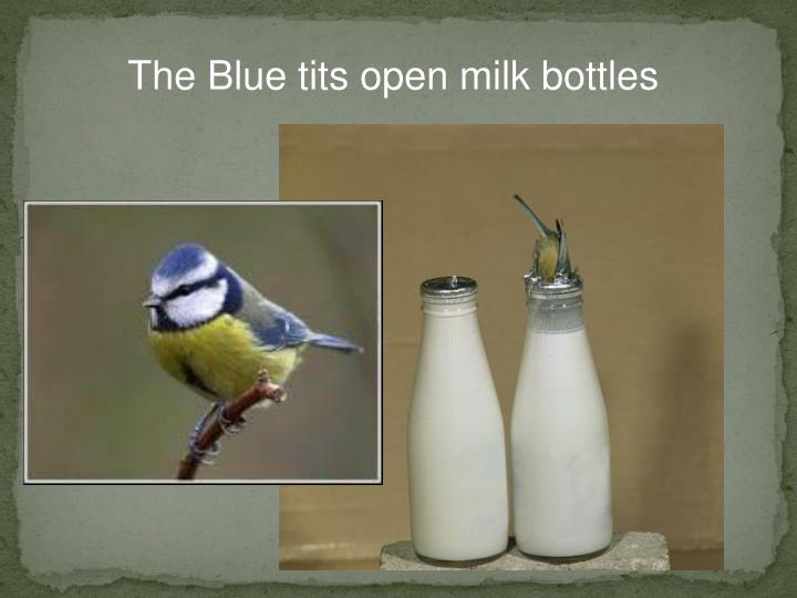 The Blue tits open milk bottles