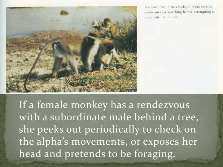 If a female monkey has a rendezvous with a subordinate male behind a tree, she peeks out periodically to check on the alpha's movements, or exposes her head and pretends to be foraging.