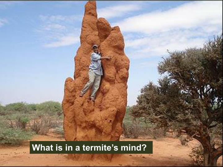 What is in a termite's mind?