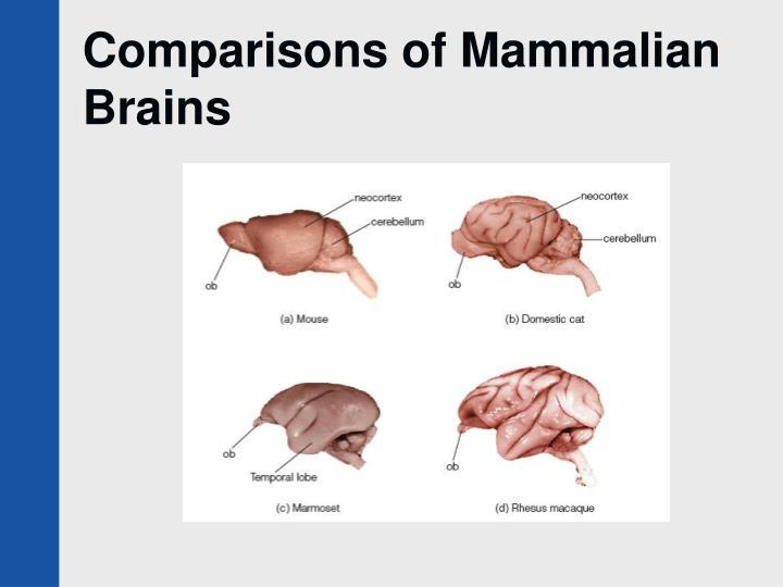 Comparisons of Mammalian Brains