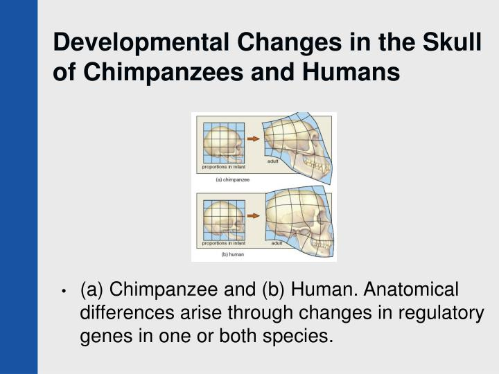 Developmental Changes in the Skull of Chimpanzees and Humans
