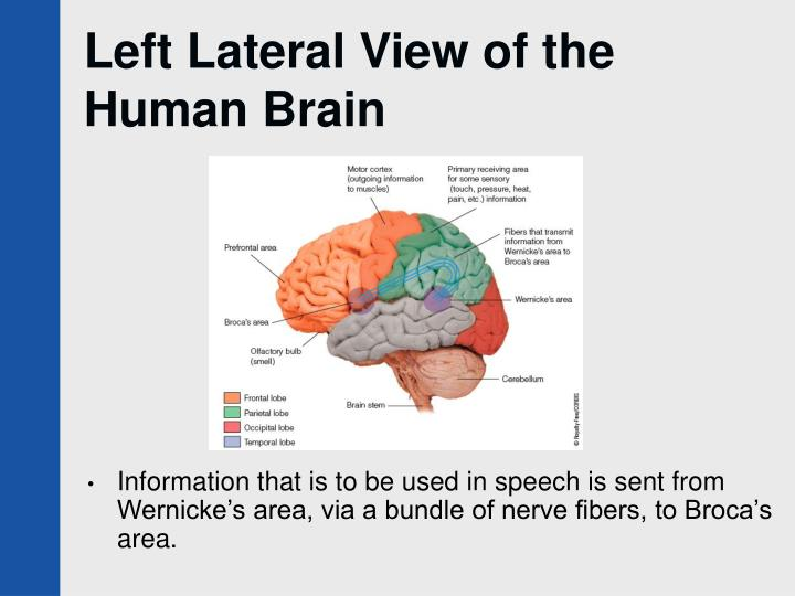 Left Lateral View of the Human Brain