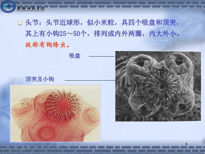 头节:头节近球形,似小米粒,具四个吸盘和顶突,其上有小钩