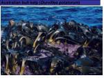 australian bull kelp durvillea potatorum