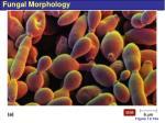 fungal morphology