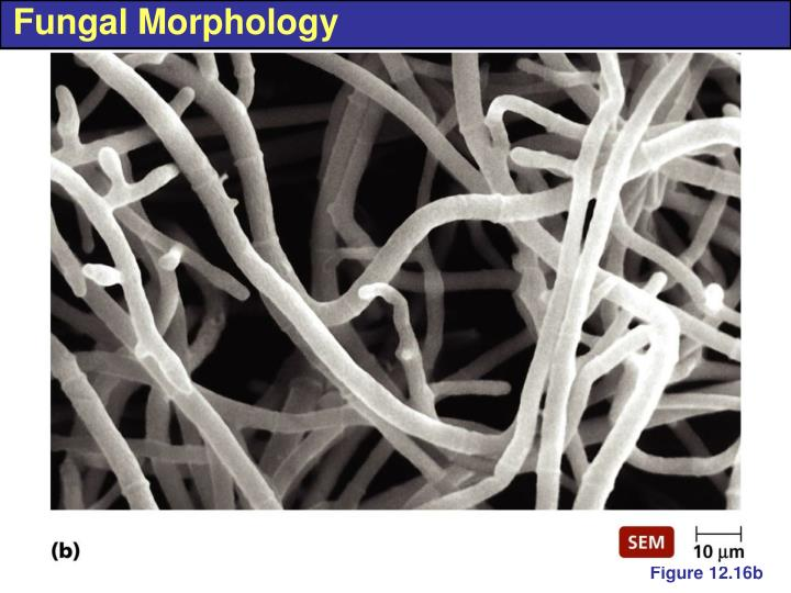 Fungal Morphology